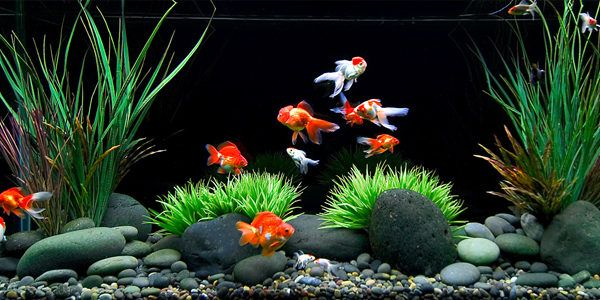 Providing a nice, natural-looking setup with plants, rocks, or pieces of driftwood on the tank floor will give your goldfish new opportunities to explore. Goldfish Series - Goldfish Tank Setup