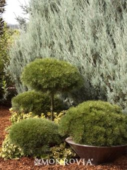 Monrovia's Brepo® Austrian Pine details and information. Learn more about Monrovia plants and best practices for best possible plant performance.