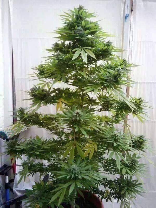 albero  maijuana