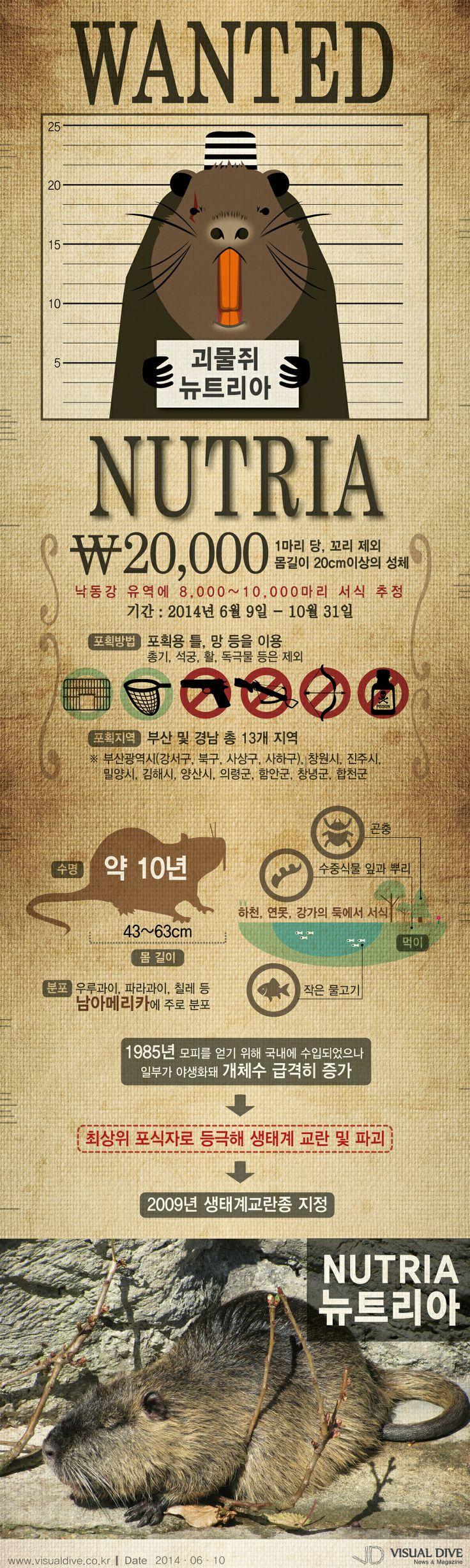 괴물쥐 뉴트리아 1마리당 2만원, 집중수매제 오는 10월말까지 [인포그래픽] #mouse / #Infographic ⓒ 비주얼다이브 무단 복사·전재·재배포 금지