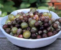 How to Grow Kiwi and Gooseberries Fruit - Real Food - MOTHER EARTH NEWS