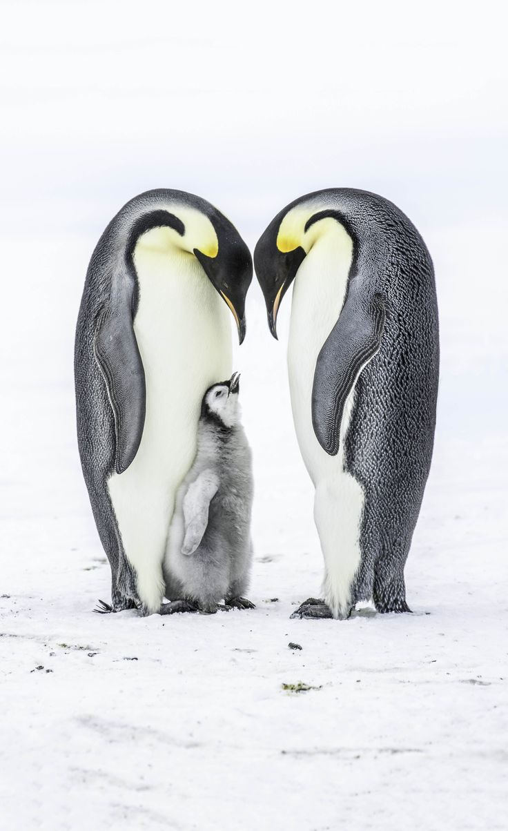 Baby emperor penguin stays with its parents at the polar house of - Travel To Antarctica And Witness The Incredible Emperor Penguins In Their Natural Habitat