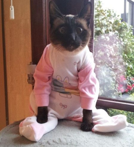 lol!: Siam Cat, Dresses Up, Funny Cat, Pet, Pictures This, The Faces, Funny Animal, Kitty, Cat Lady