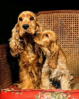 """Click visit site and Check out Best """"English Cocker Spaniel"""" T-shirts. This website is superb. Tip: You can search """"your name"""" or """"your favorite shirts"""" at search bar on the top."""