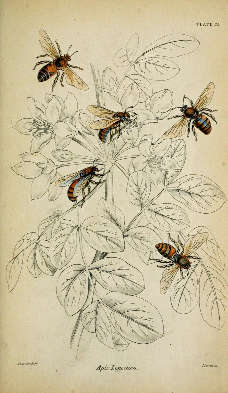 Colored Plate, Apis Ligustica (Honeybee), 1835 [Fascinating way to show off the critter while still showing it's natural habitat just in outlines]