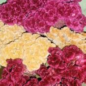 • Dried Celosia Cockscomb Flowers - Dried Coxcomb Flowers