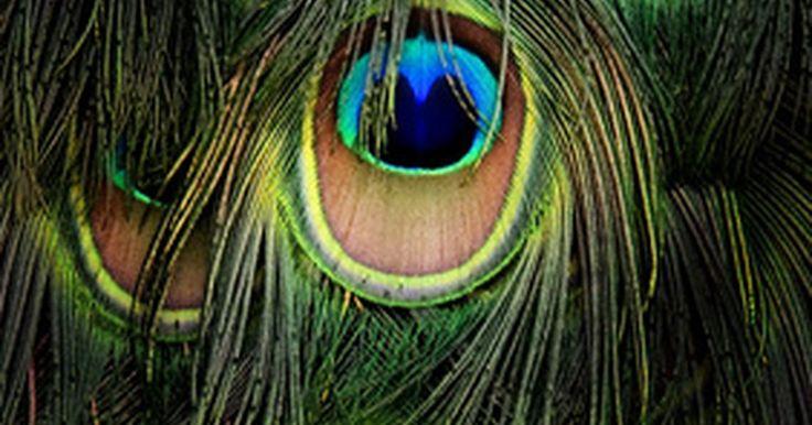 Centros de mesa con plumas de pavo real que puedes hacer tú misma. Las plumas de pavo real le añaden un toque distintivo incluso al centro de mesa más común. Si quieres darle vida a tus centros de mesa para una fiesta o una boda, añade plumas de pavo real al arreglo. También puedes utilizar varias plumas de pavo real en un florero para crear una sobria y elegante pieza central. Estas plumas son versátiles y le ...
