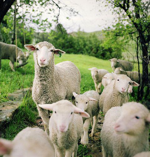 Ahhh! One day :): Daniel Hughson, Sweet, Animal Baby, Natural Photography, Baby Lamb, Baby Animal, Sheep, Farms Life, Lessons Learning