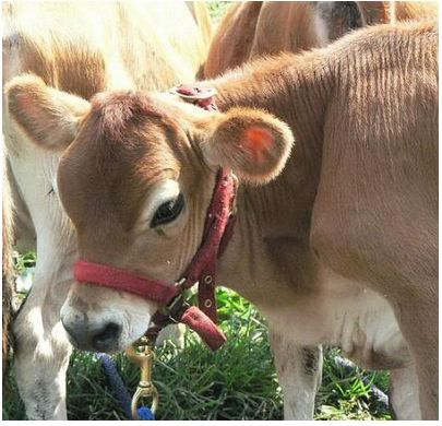 I love goat's milk cheese, but I don't love goat's milk.  Is this the charm?  Miniature Jerseys for small farms give 2-3 gallons per day of rich milk.