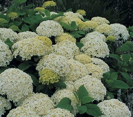 Annabell Hydrangea...it is best seen in June.  The white mop heads are like beacons of light at night.  A must have in your garden.: Pruning Hydrangeas, Favorite Plants, Gardens Magazines, Flower Gardens, Fine Gardens, Arborescen Annabel, Annabel Hydrangeas, Hydrangeas Arborescen, Gardens Growing