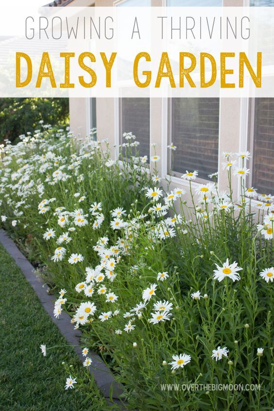 Do you love Daisies? Learn everything you need to know about creating a thriving daisy garden! Once you get them started they require very little care and get bigger and better every year! | Over the Big Moon