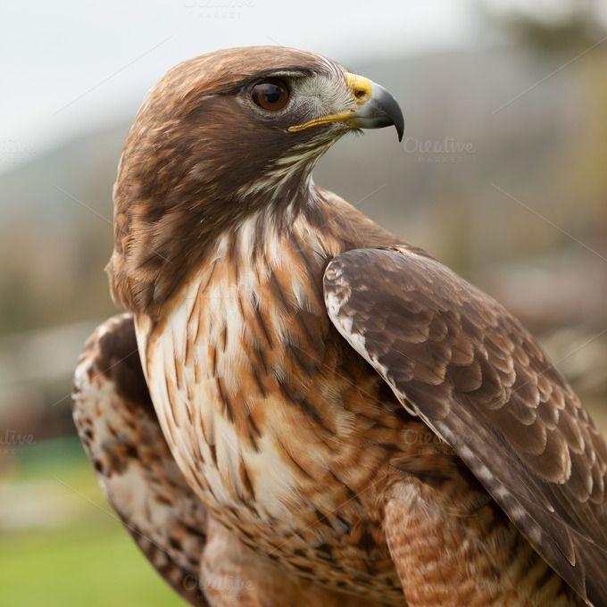 Desert Hawk Animal 78 best The Beautiful ...
