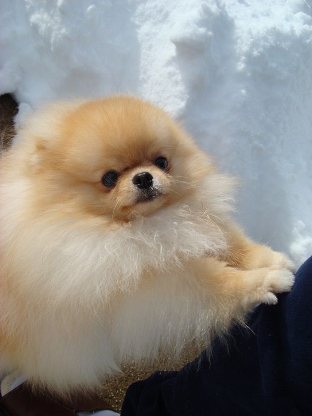 Best 25 Pomeranian Haircut Ideas On Pinterest