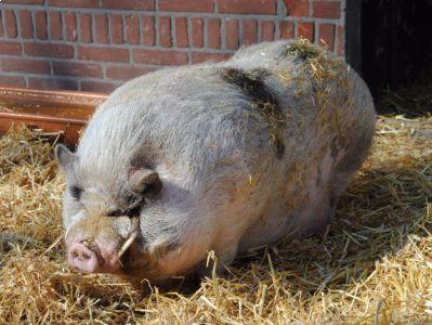 Hector het hangbuikzwijn was deel van een failliete boedel en zou vorig jaar een spuitje krijgen als niemand hem een nieuw thuis zou geven. Varkens in Nood deed een oproep tot hulp en jawel, de liev..