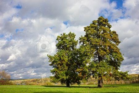 CypressTrees Echte Sumpfzypresse photo