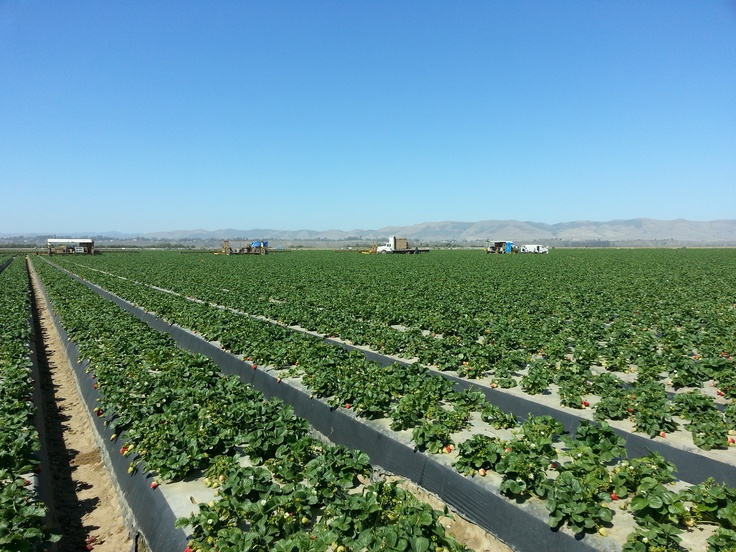 Innovative Produce's Strawberry Fields.