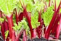 Légumes et potager - Diviser la rhubarbe