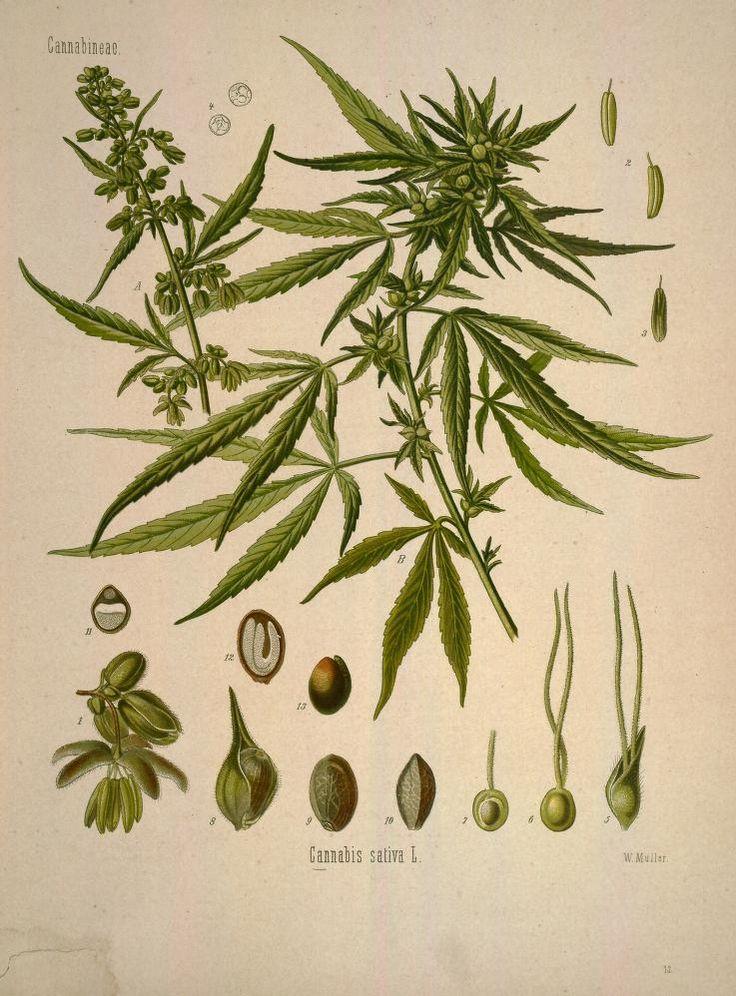 Cannabis sativa, v.1 - Köhler's Medizinal-Pflanzen in naturgetreuen Abbildungen mit kurz erläuterndem Texte : - Biodiversity Heritage Library