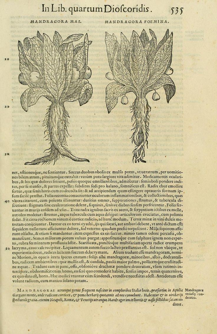 Mandragora, 1558, Pietro Andrea Mattioli, in libros sex Pedacii Dioscoridis Anazarbei de medica materia, Venetiis, Erasmiana, Vincentij Valgrifij, [Mandragora Mas - Mandragora Foemina]