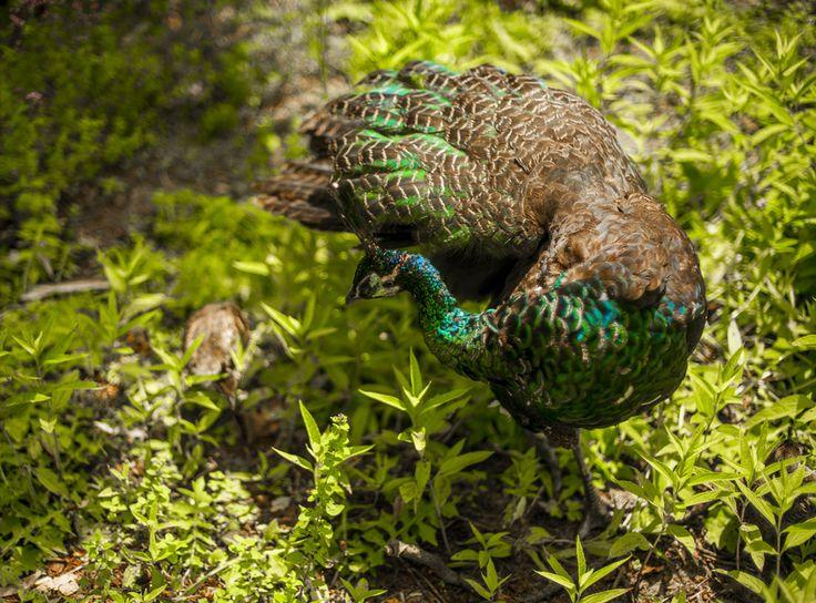 #peacock #chicks #bird #iridescent #color #feathers #patterns #nature #foliage #plants #photographer #composition #shallow #depthoffield #wanderlust