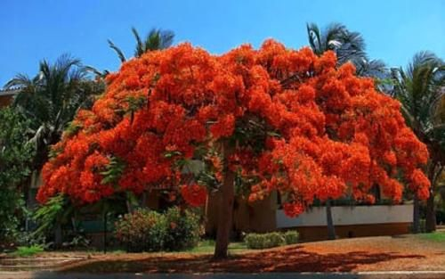 17 best images about rboles on pinterest madagascar for Arbol del fuego jardin
