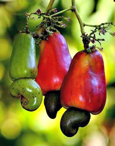 cashews come from a fruit healthy fruits and vegetables