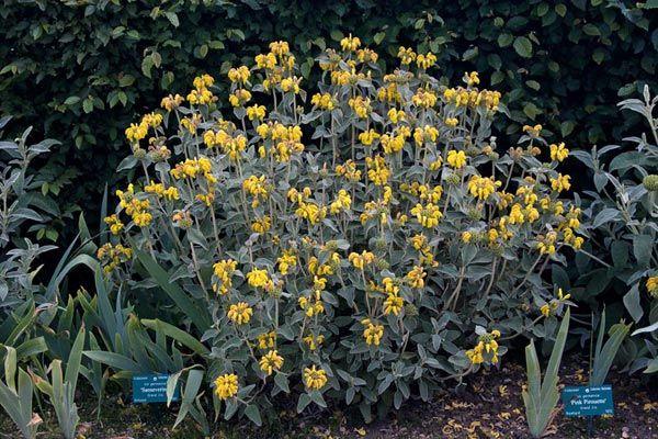 4. Phlomis fruticosa - Jerusalem Sage