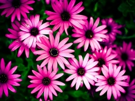 Beautiful pink flowers wallpapers