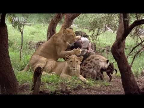 Living with Lions - National Geographic - Animal Documentary HD: This guy is amazing,
