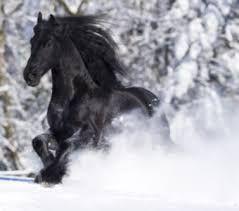 Výsledek obrázku pro fríský kůň ve snehu