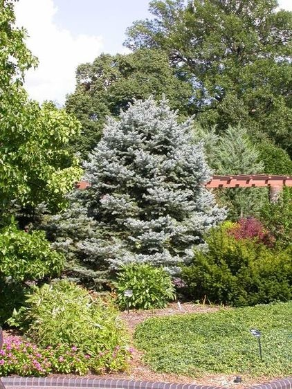 10 best cupressus blue ice images on pinterest for Specimen trees zone 5