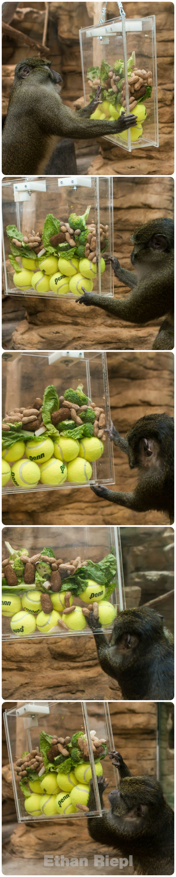 Tennis Ball Feeder for Swamp Monkeys at Saint Louis Zoo. Such a fun idea with a Great picture where you can really see how it fits together. I would put a hinge and locks at the bottom for easier cleaning however.