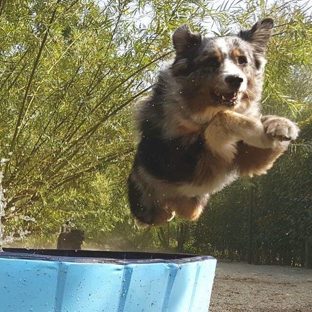 Flying Aussie #australianshepherd #australianshepherdsofinstagram #aussie #aussies #flyingdog #pooltime #hundepool #hundeliebe #hundehotel #hundepension #canisresort #doghotel #dogpool #dog #doglovers