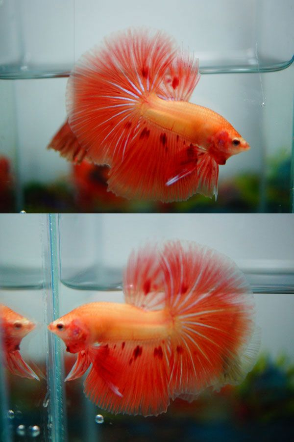 1442 best betta images on pinterest betta fish for Types of betta fish petco