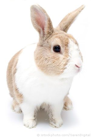Dutch Rabbit- think this is what I want. relatively small, and is easily trained