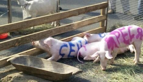 Украинские бизнесмены привели свиней к зданию администрации Порошенко - http://russiatoday.eu/ukrainskie-biznesmeny-priveli-svinej-k-zdaniyu-administratsii-poroshenko/                              Украинские предприниматели провели флешмоб сосвиньями около здания администрации президента страны Петра Порошенко �