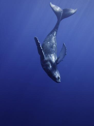 Humpback Whale Calf (Megaptera Novaeangliae) Swimming Near its Mother, Maui, Hawaii.