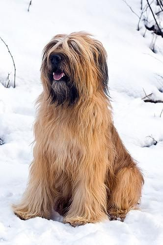 French Briard another one of my favored breeds. Very smart dogs!