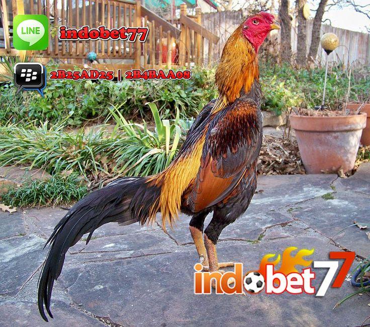 Bandar Sabung Ayam - Pengalaman adalah guru nomor satu dalam memelihara ayam bangkok. Ayam bangkok yang se hat ditandai dengan... #indobet77 #bandarsabungayam #bandarjudi #infojudi #judionline #bandarjudionline #agenjudionline #situsjuditerpercaya #indonesia #jakarta #medan #surabaya #bandung #jogja #makassar #aceh #sulawesi #kalimantan #papua #video