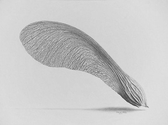 maple seed illustration - Google Search