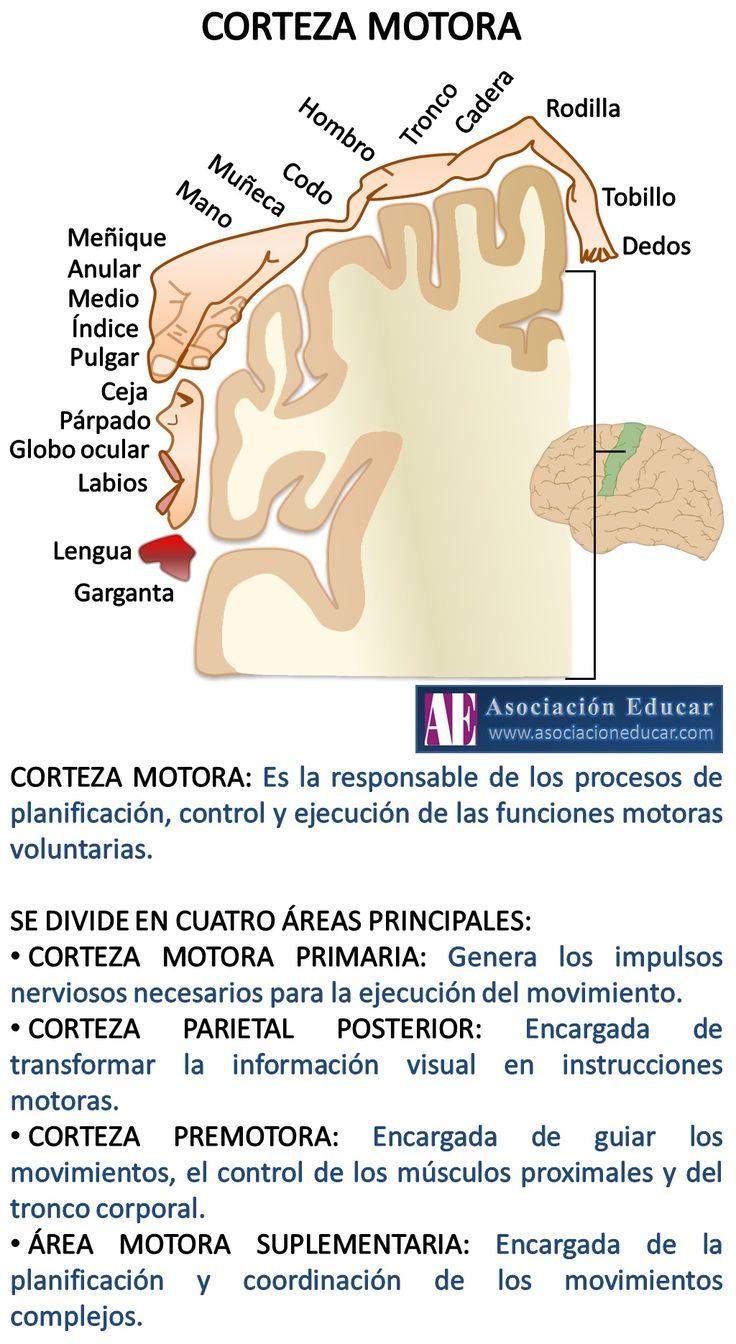 Infografía Neurociencias: Corteza motora | Asociación Educar para el Desarrollo Humano