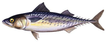 Atlantic chub mackerel (Scomber colias)