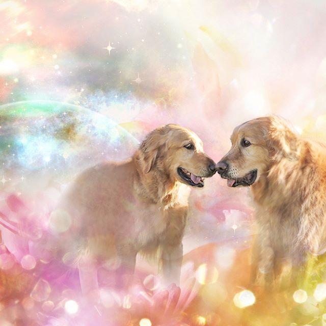 クレアちゃん&ラルフくん * 動物と人のヒーリングセラピスト・くどうまさみさん( @larph_crea )より、ブログのヘッダ画像のご依頼です♪ * *  #ilovegolden_retrievers  #pets_perfection  #instagramjapan  #nature_cuties  #dogs_of_instagram  #pupdoggydog  #meowvswoof  #bestwoof  #dog_features  #dogsofinstagram  #Excellent_Puppies  #puppytales  #inutokyo #pecoいぬ部  #wooftoday  #FurrendsUpClose  #goldens_ofinstagram  #igclub_dogs  #gloriousgoldens  #おねだりファーボ  #goldenretriever  #puppytrip  #retrieversgram  #welovegoldens  #Excellent_Dogs  #アトリエFarsley  #inulog…