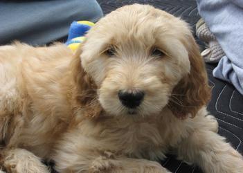 Labradoodle Goldendoodle puppy for sale VA MD DC, doodle dog pups breeder