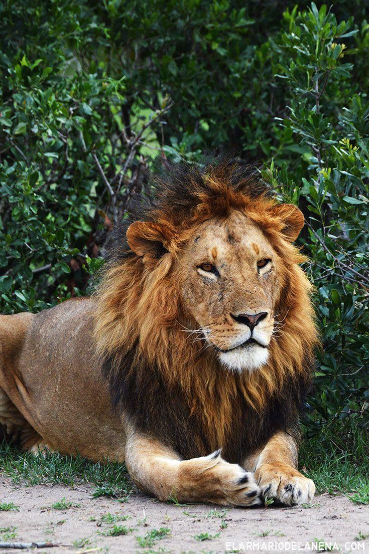 king lion (Masai Mara - Kenya)