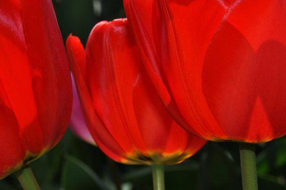 Spring red tulips.  Diane Greene Lent