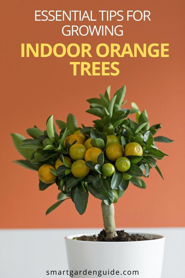 997253e204640c3643e5f6abd51d13e6 - Growing Citrus The Essential Gardener's Guide