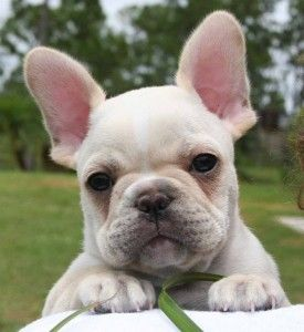 This Frenchie makes my heart melt.  As a companion breed, I'd love to have a little guy like this one day.  :)