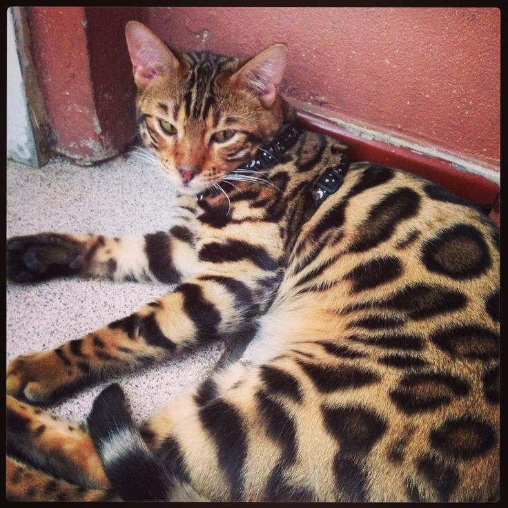 Pin by Yols Covet on Zeus + Hera Bengal cat, Feline, Dog cat