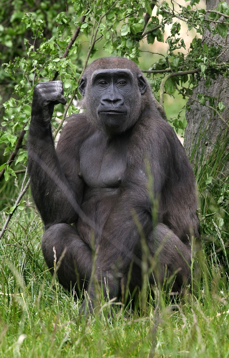 ~ photographer : Cate Gillon - Mijukuu, nicknamed 'Jookie' , a 5 foot tall 65 kilo female gorilla at the London Zoo, 2008